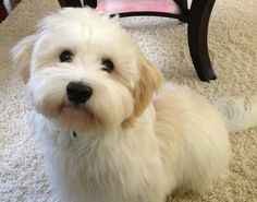 Haircuts for Havanese Dogs 12687 208 Best Havanese Dog Images In 2019 Havanese Haircuts, Havanese Grooming, Puppy Grooming, Havanese Puppies, Baby Puppies, Cute Puppies, Dogs And Puppies, Puppy Cut, Dog Pictures