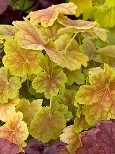 """Heuchera x villosa Tiramisu  Coral Bell, Alum Root    Height: Short 8-10"""" (14"""" in flower) / Plant 10"""" apart  Bloom Time: Early Summer to Late Summer  Sun-Shade: Full Sun to Mostly Shady  Zones: 4-9   Get Your Zone  Soil Condition: Normal, Acidic  Flower Color / Accent: White / White"""