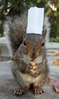 Oh hello, I'm Chef Sneezy and I've made you this acorn flan: | Meet Sneezy, The Penn State Squirrel Who Loves Wearing Hats