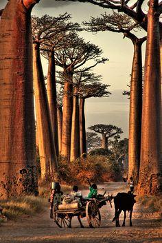 children and baobab trees, Madagascar