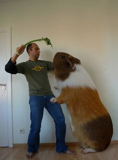 ..side-effects of overfeeding your guinea pig..