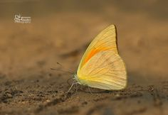 Ventral view of an Indian Orange Albatross(Appias galba) photographed by Antonio Giudici at Chiang Dao, Thailand on 16th March 2015