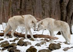 Wild wolves! So beautiful