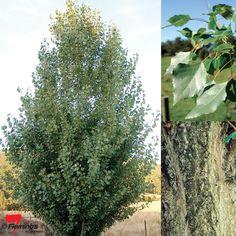 Populus euramericana x nigra 'Crows Nest'
