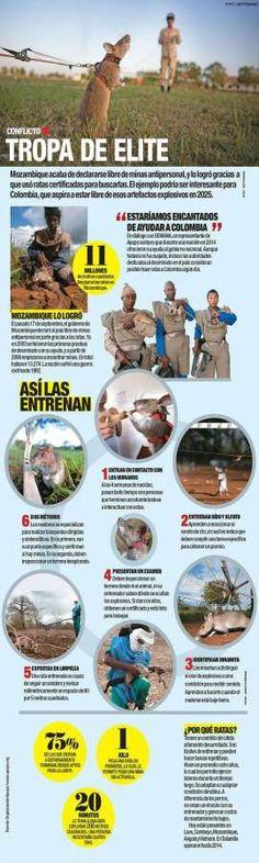 Las ratas que podrían ayudar a desminar a Colombia