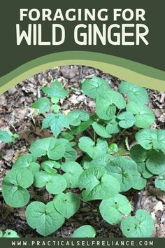 Foraging Wild Ginger - Wild ginger is a low growing, shade-loving perennial with heart-shaped leaves. Wild Ginger Plant, Weed Killer Homemade, Edible Wild Plants, Herbs For Health, Wild Edibles, Healing Herbs, Edible Garden, Medicinal Plants, Plant Care