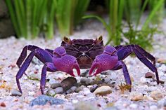 Picture of the Geosesarma dennerle vampire crab with purple claws.  Two Vampire Crab Species Found, Are Already Popular Pets Spooky-eyed crustaceans sold as aquarium pets are two previously unknown species from Indonesia, a new study says.