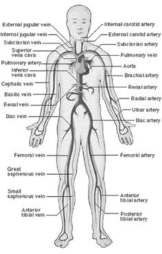 This is an overview of the major blood vessels in the circulatory system. These are the major arteries in the body . Health And Fitness Magazine, Health And Fitness Tips, Body Anatomy, Human Anatomy, Daily Health Tips, Health Advice, Health Care, Health Diet, Agenda Planning