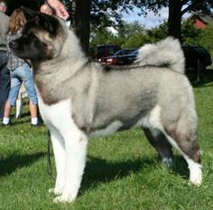American Akita Pictures and Images