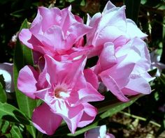 the oleander