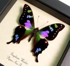 "Wow! I really love this #butterfly :) and it's raised on a natural, cruelty free tropical farm!  Yay!! Putting this one on my wish list, it'd go really well in my ""natural history"" living room :D"