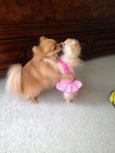 Beauty and the Pomeranian
