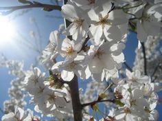 White cherry blossoms.
