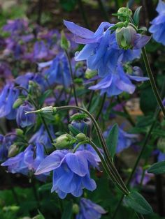 ♕ an incredible blue Aquilegia <3<3<3