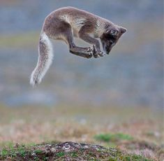Jumping fox, Svalbard, Norway. Photo: Aleksander Myklebust / Wild Wonders of Europe.