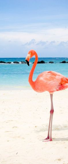 Spring: Mar - May Summer: June - Aug Fall: Sep - Nov Winter: Dec - Feb Foto Flamingo, Flamingo Beach Aruba, Flamingo Wallpaper, Animal Wallpaper, Tropical Wallpaper, Background Hd Wallpaper, Background Pictures, Beautiful Birds, Animals Beautiful