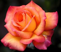Pink and orange rose. Pretty!