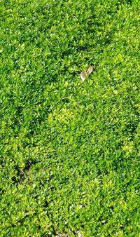 Elfin Thyme Lawn | Future Orchard U0026 Garden | Pinterest | Lawn, Gardens And  Garden Ideas