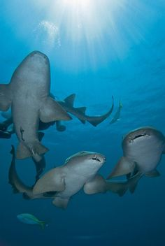 Nurse sharks on Ambergris Caye by Jad Davenport