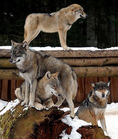 A beautiful wolf family pose in their snow-filled enclosure at the Eekholt Wildlife Park, near northern Germany.