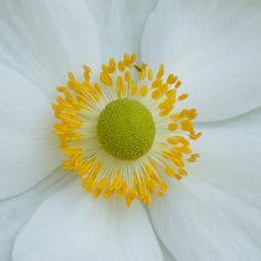 White Poppy Flower by lizslabodnick on Etsy.