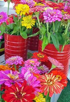 General growing info. (Seed Saving: Zinnias will cross-pollinate. Gardeners should only grow one variety at a time to save pure seed, or isolate varieties by 1/4 mile.)