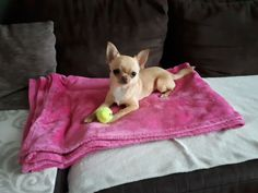 Picnic Blanket, Outdoor Blanket, Chihuahua, French Bulldog, Ice, Dogs, Animals, Animales, Animaux