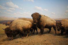 Buffalo on the Plains.