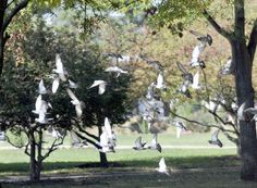 Pigeons fight with squirrels for a feeding space near the Governor's Mansion on the state Capitol grounds