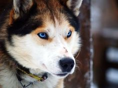 When I have a house with a nice yard out in the snow, I am getting three huskies...a white one, a brown one, and a black one.