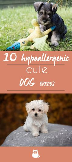 10 Hypoallergenic Dog Breeds for Allergic Families. When someone is allergic to dogs, it doesn't exactly mean that their body produces an immune response because of the animal itself,. Hyperallergenic Dogs, Dogs And Puppies, Boxer Dogs, Cute Dogs Breeds, Small Dog Breeds, Toy Dog Breeds, Best Dogs For Families, Good Family Dogs, Best Hypoallergenic Dogs