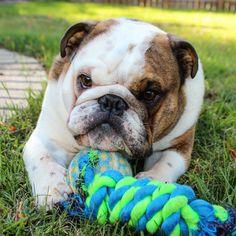 English Bulldog puppy!