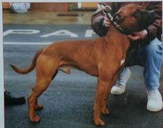 Gr. Ch. Big Red, a Staffordshire Bull Terrier