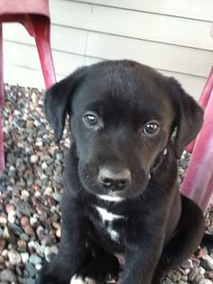 This is Brodie, my puppy. Black lab husky mix! Too cute!