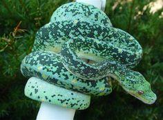 Píton-verde-arborícola