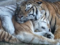 Bhu and Bala Sleeping Tigers at Busch Gardens