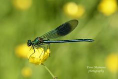 A banded Demoiselle on a buttercup, taken in the Spring of 2016.