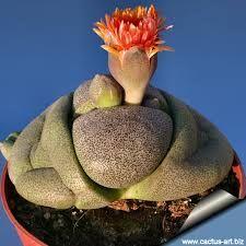 Google Image Result for http://www.cactus-art.biz/schede/PLEIOSPILOS/Pleiospilos_nelii