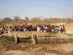 Humans are usually predators, but we can be prey too. The people in a village on the Niger River in Africa were losing fellow villagers at a rapid rate and called in the army, which shot a 7 m, 1200 Kg crocodile.