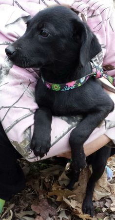 Tia Labrador Retriever Mix • Young • Female • Medium Humane Society of Central Louisiana Pineville, LA
