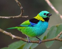 Green-headed Tanager (Tangara seledon). Taken at Parque Nacional do Itatiaia, RJ, Brasil.