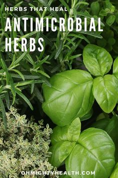 Antimicrobial herbs are herbs that help the body to either kill or disrupt pathogens (pathogens are microorganisms that can cause disease like viruses, fungus or bacteria). Herbal Remedies, Health Remedies, Natural Remedies, Healing Herbs, Medicinal Herbs, Herbal Tinctures, Herbalism, Natural Medicine, Herbal Medicine