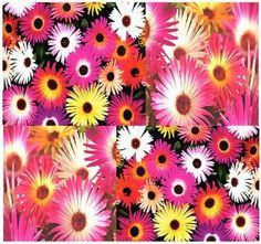 "400+ LIVINGSTONE DAISY MIX - ICE PLANTS - Dorotheanthus bellidiformis - Flower Seeds Tropical electrifying COLORS ~ 6"" tall by MySeeds.Co. $1.00. ~~ OVER 1,000+ VARIETIES & EXPANDING TO CHOOSE FROM ~~!!. S&H is a FLAT RATE NO MATTER HOW MUCH YOU ORDER FROM US ~!!. Click or Copy & Paste Link Below For Bulk Order. This Order = 400 Seeds ~!!. www.amazon.com/gp/product/B00B85I7JW. ~ ~ ~ WE OFFER BOTH PKT. & BULK SIZES ~ ~ ~ LIVINGSTONE DAISY ~~!! Grows as an Annual most..."