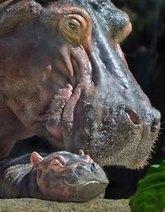 Baby hippo napping next to its mother at the San Diego Zoo Cute Hippo, Baby Hippo, Animals And Pets, Baby Animals, Cute Animals, Animal Babies, Beautiful Creatures, Animals Beautiful, Elephas Maximus