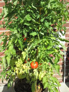 "one of the tomato plants. I did them in containers this year and they did great. I didn't buy the ones ""for container gardening"", just plain old regular tomato plants. More helpful info at http://www.tomatodirt.com/growing-tomatoes-in-pots.html."