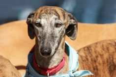 Our Sofie, rescued by Galgo Connection Spain