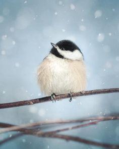 Chickadee in Snow, fine art bird photography print by Allison Trentelman | rockytopstudio.com