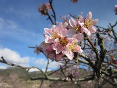 Foto gratis: Flor, Almendro, Flor De Almendro - Imagen gratis en Pixabay - 1009481