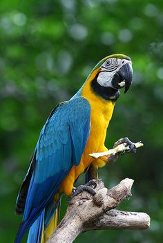 Blue-and-Yellow Macaw - they don't talk ever, neither with 5 or 50 years