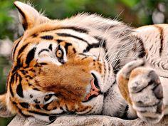 Tigre.....são lindos